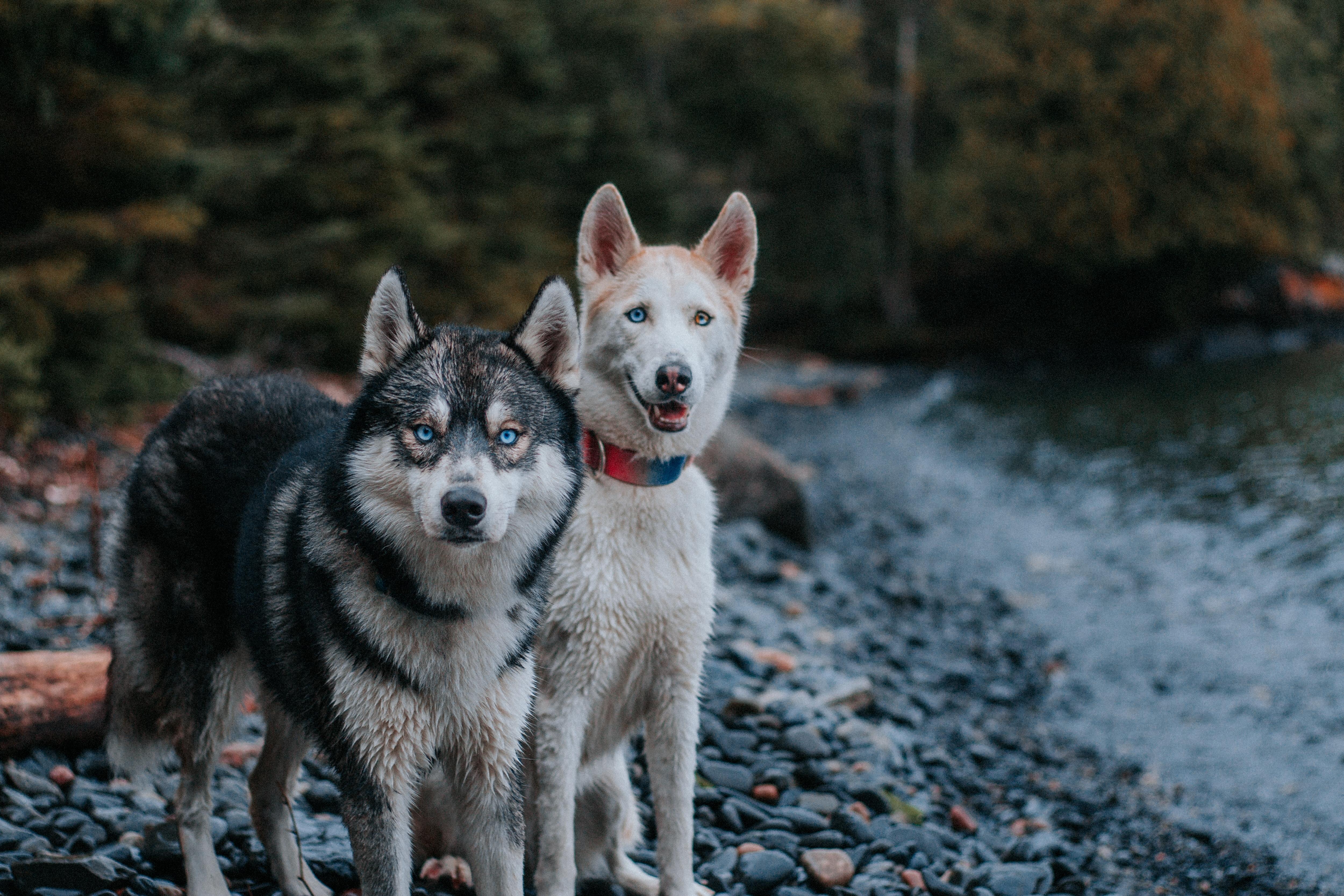 Huskies of Instagram